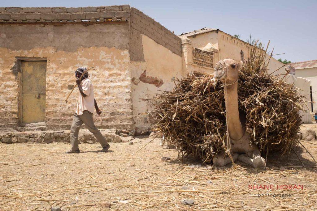 Camel takes a break from the scorching sun, Keren, Eritrea